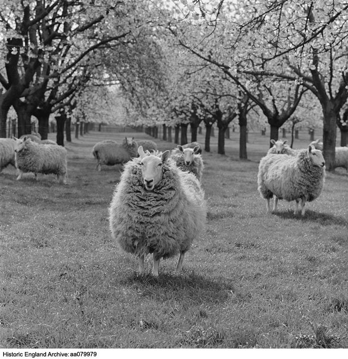 AA079979  Photographer: John Gay TitleSheep in an orchard in blossom, Kent.    From a group of negatives labelled 'Headcorn/ Sep 63/ April 64'.  DateApr 1964