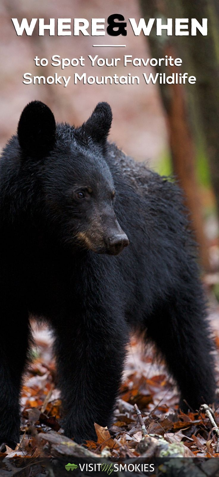 Where & when to spot your favorite Smoky Mountain wildlife