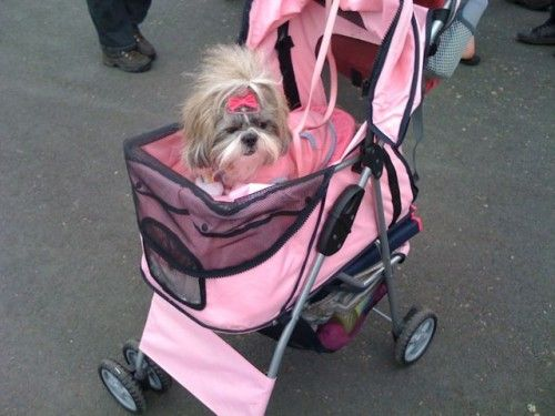 Pink dog in a pink pram with pink hair accessories. Sasha had one towards the end. It helped her still get out & about when she wasn't strong enough to on her own.