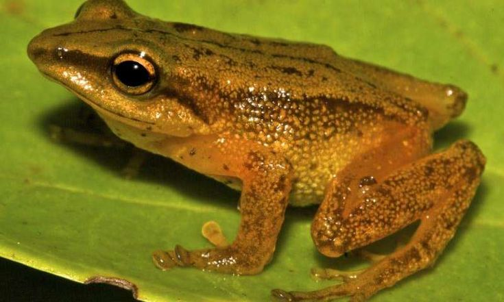 "New golden frog species discovered in ColombiaA picture of a Pristimantis dorado. Despite having no vocal sac and vocal slits, male Prismantis dorado Individuals ""sing"". Credit: Santiago Castroviejo-Fisher"