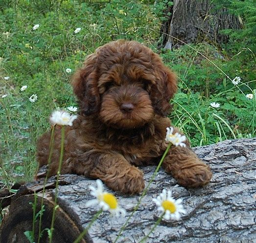 Ok, this is actually a cute breed of labradoodle so maybe when the baby is a year old we can try a pet again :)