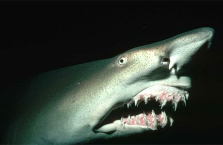 Goblin Shark - This extremely rare shark is one bizarre looking creature. Most famous for its extended snout and gruesome teeth, goblin sharks have been found as deep as 4000 feet. They can grow up to 14 feet (3.3 m) long and weigh 350 lb (159 kg).