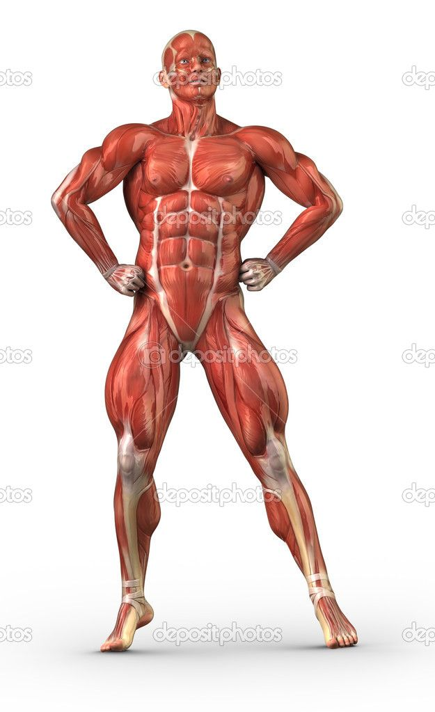 diagram muscular system – citybeauty, Muscles