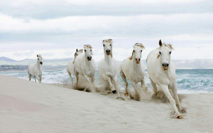 horse horses gray grayhorse beautiful cool sea seaside