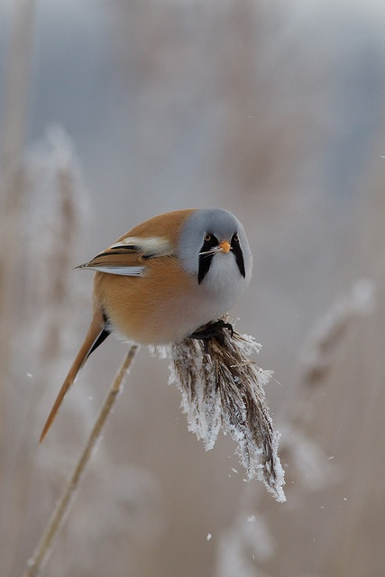 Bearded reedling - Espoo, Finland ~ photo by Ville Airo