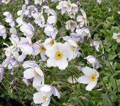 12 best Fleurs de jardin Automne images on Pinterest | Bulbes ...