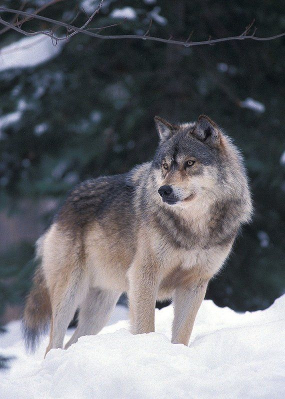 Timber Wolf                                                                                                                                                                                 More