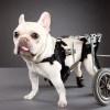 Carli Davidson's Disabled Pets: Animals, Sweet, French Bulldogs, Frenchie, Photo, Carlidavidson