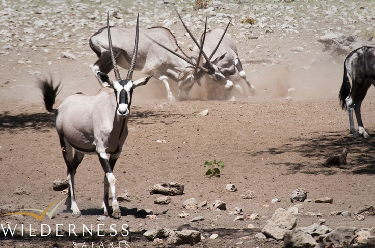 Ongava Tented Camp - Located in central-northern Namibia, Etosha National Park takes its name from the world-famous Etosha Pan - one of a number of large saltpans formed by wind action in this flat region. #Safari #Africa #Namibia #WildernessSafaris