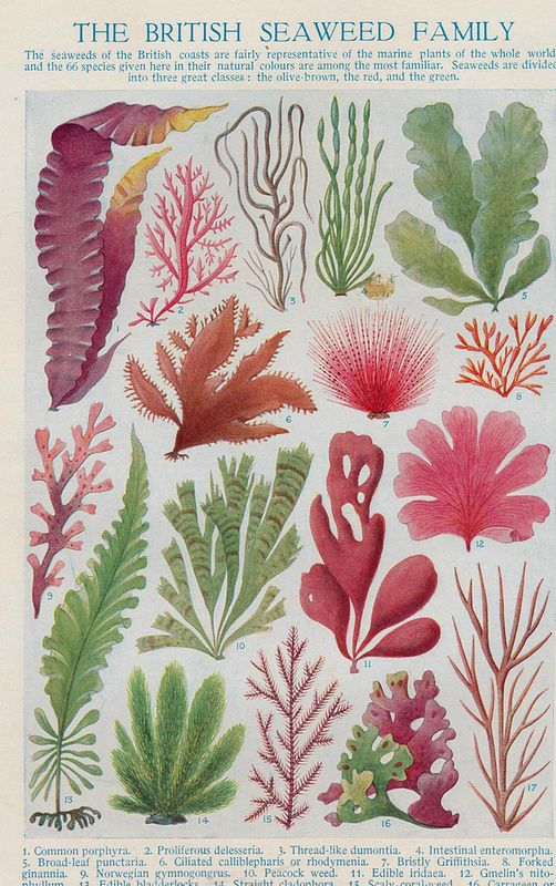 best 20 seaweed ideas on pinterest coral art coral reef art and coral watercolor. Black Bedroom Furniture Sets. Home Design Ideas