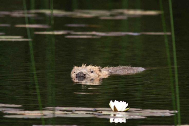 Il castoro torna in Scozia dopo 400 di estinzione Dopo un'assenza di centinaia di anni, castori selvatici sono di nuovo un nuoto libero in fiumi e laghi delle isole britanniche. Ma è la reintroduzione di castori in Gran Bretagna una buona idea, o sa