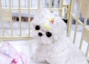 Baby Bless Amazing Maltese For Sale www.boutiqueteacuppuppies.com
