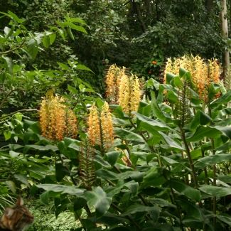Kahili ginger lily | Hedychium gardnerianum - removed. Competes with and replaces indigenous species. Existing legislation: CARA 2002 – Category 1 Proposed legislation: NEMBA – Category 1b