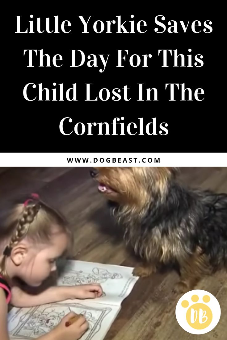Little Yorkie Saves The Day For This Child Lost In The Cornfields