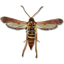 Ash/Lilac Borer - Spring to Summer).  This very common parasitic wasp has plagued ash trees with trunks less than 12' in diameter. It can be difficult to find an ash tree without it. Although fatal if left untreated, it can be controlled with a combination of insecticide and fertilizer.