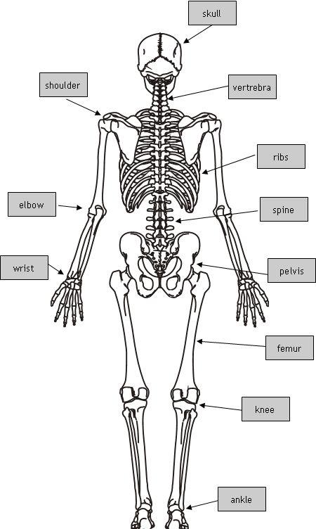 Phalanges (fingers and toes), Sternum (rib bone), Femur