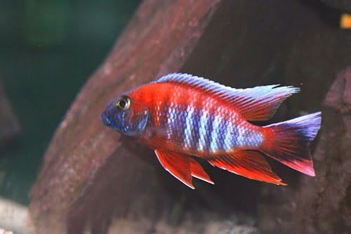 MALAWI CICHLIDS,Northants at Aquarist Classifieds