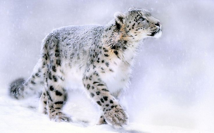 10 White Leopard Wallpaper,Images,Pictures,Photos,HD Wallpapers ...