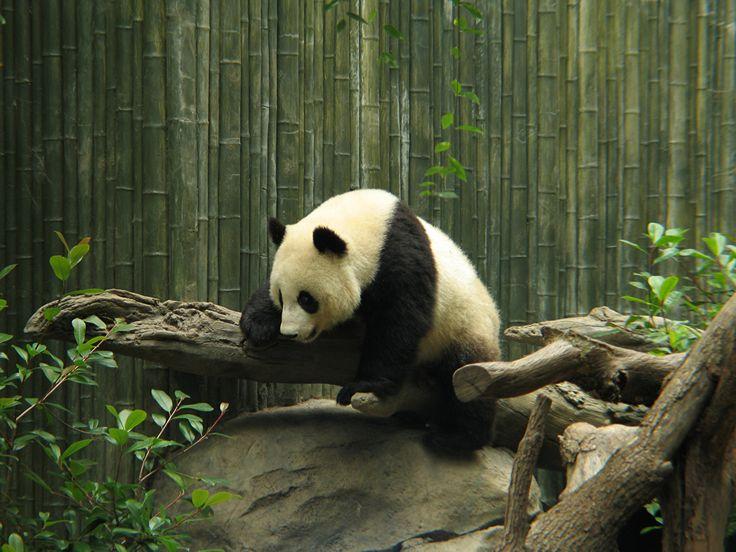 Osos Oso pandas Rama Panda gigante Animalia