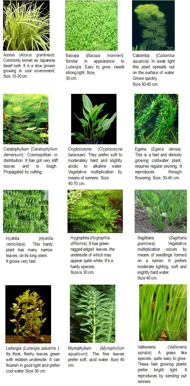 Aquatic plants with name the image kid for Recommended pond plants