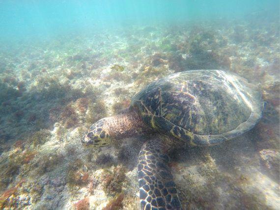 Snorkeling em Fernando de Noronha: nadando com tartarugas e tubarões na Baía do Sueste