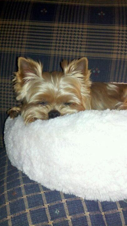 sleepy Ry..when yorkies sleep and then wake up their hair is flat on the side where they slept...so funny!