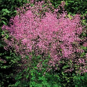 Buy Thalictrum Hewitts Double Perennial Plants Online. Garden Crossings Online  Garden Center Offers A Large