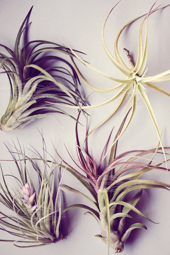 LARGE Mystery Air Plant // air plants tillandsia by PetitBeast, These are my style, super easy care!