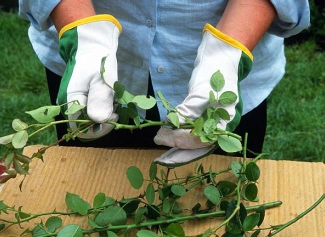 Bouturer le rosier buisson