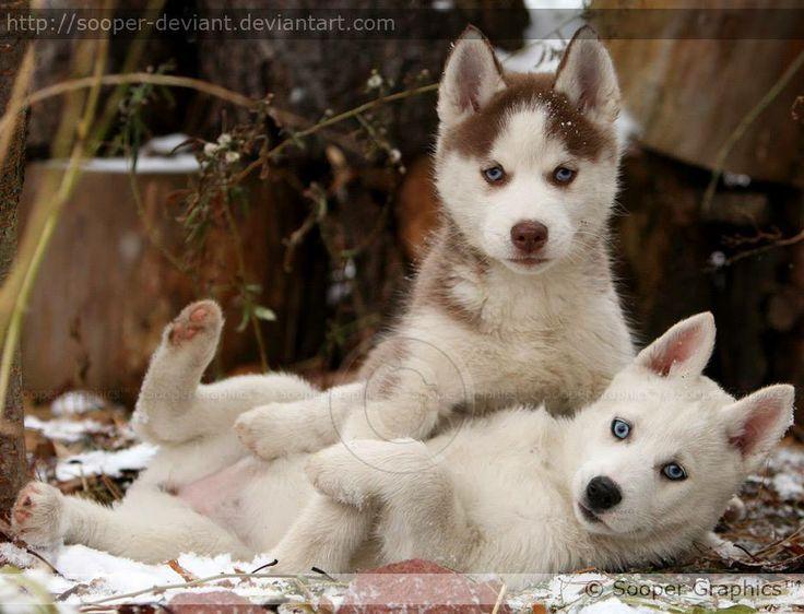 Siberian Husky puppy smackdown