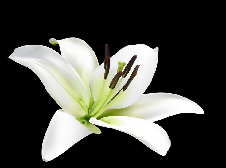 best  white lily flower ideas on   lilies, white, Natural flower
