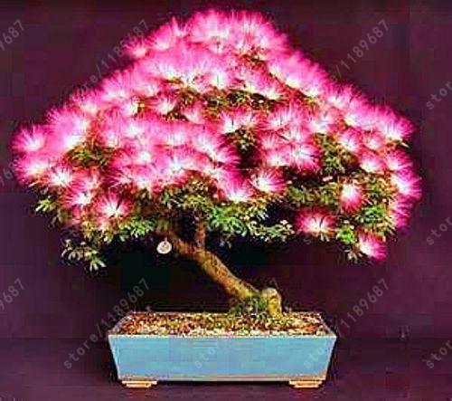 20 pcs/bag Acacia tree seeds, (albizia julibrissin) , bonsai flower seeds Perennial indoor plant for home garden