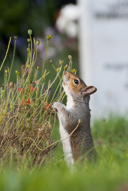 ☆ Sciurus carolinensis, grey squirrel, London cemetery, August :: Photo By Sam Rowley ☆