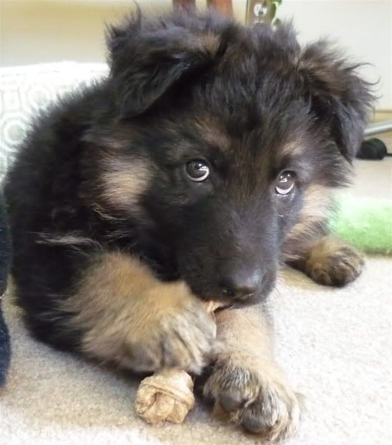My new-found puppy love - I want this mix as my next dog!  Border collie german shephard mix!