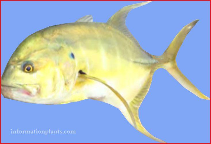 شيم فيشري Longfin Crevalle Jack قسم انواع الاسماك سمك انواع الاسماك مع الصور الموقع الزراعي ومنوعات اخرى Pets Animals Fish Pet