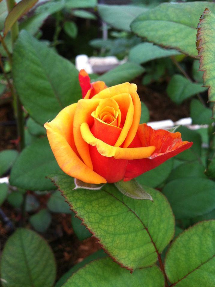 Impact Rose
