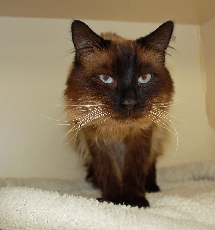 Oz At Seven Years Old This Siamese And Domestic Longhair Mix Is A Calm Boy Who Loves To Be Gently Pet Adopt Cat Siamese Perfec Cat Adoption Pets Animals