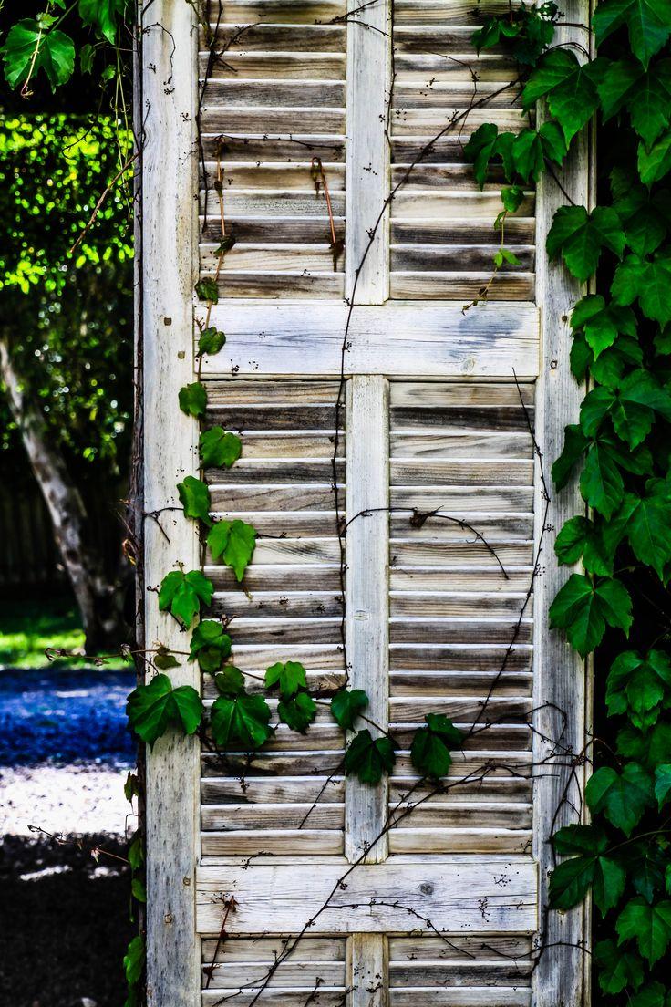 Vines growing in Summer.