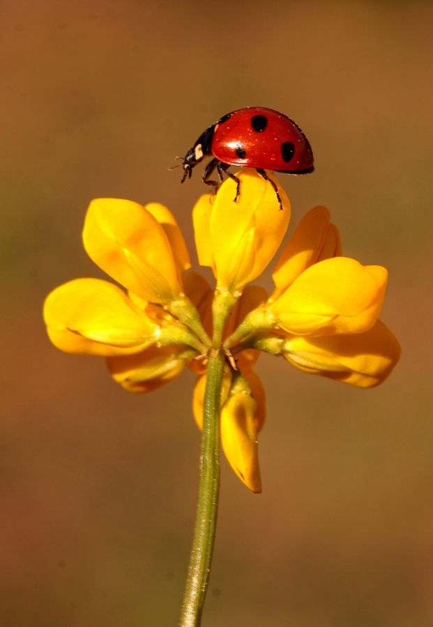 lady bugs bees flowers - photo #3