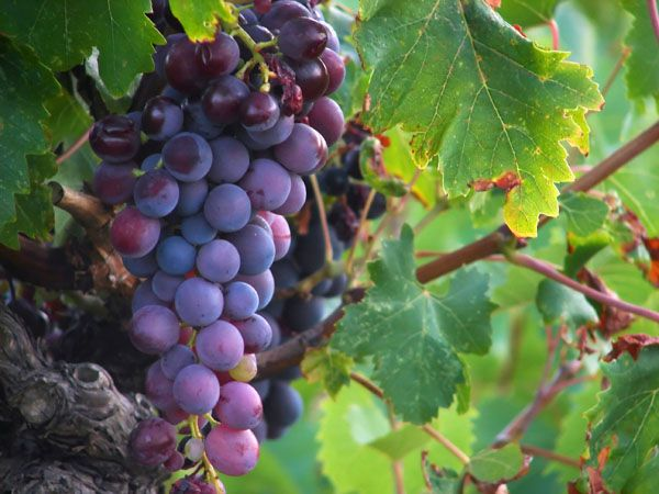 An assistant biology professor turned home wine maker gives the guidelines on how to make homemade wine.