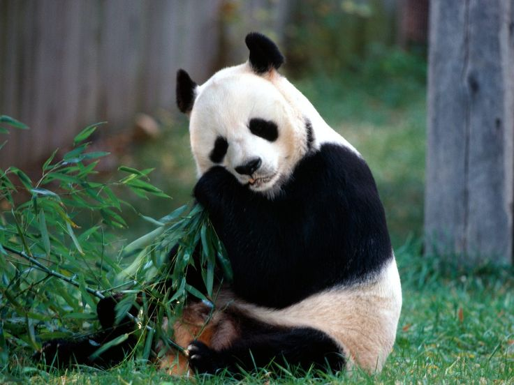 You can find panda only when you know where they live. Click on the picture to know where do pandas live