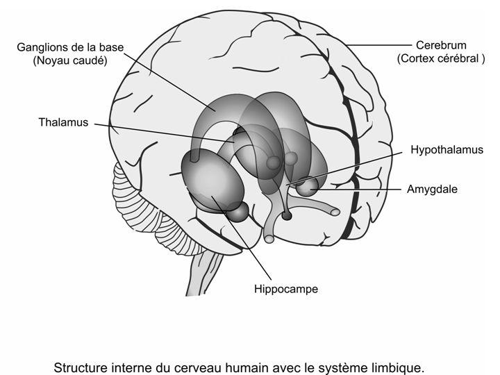 Le système limbique: hippocampe, amygdale et hypothalamus