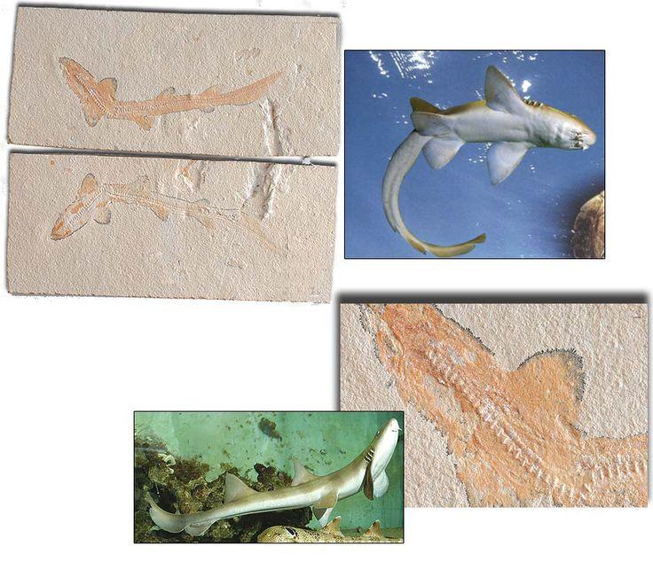 95 MİLYON YILLIK KEDİ BALIĞI http://dusuneninsanlaricin.com/evrimi-curuten-50-fosil/