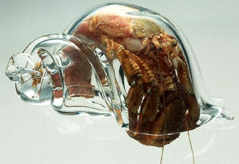Scientists at the New Zealand Marine Studies Centre placed glass shells into a hermit crab tank. The crabs moved into the glass shells shortly after, allowing scientists to clearly study them.