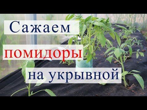 Посадка томатов на укрывной материал в теплицу.(13.05.16) - YouTube