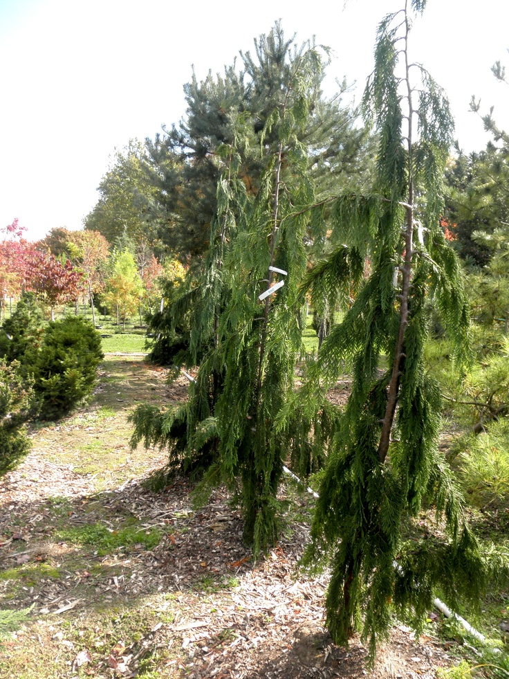 8 best big evergreens from the back of the nursery images for Small sized evergreen trees
