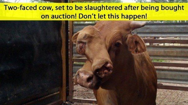 This cow was born with two faces and has been hitting all of the social media channels recently as it was sold by his original owner(s) at auction because he couldn't handle the cow anymore but the cow is healthy despite having two faces!   The new owner does plan on slaughtering this poor cow mainly because his is different and a much bigger cow compared to other cows!   Please sign this petition and make the change you want to see today. How would you like it if a family member or close…