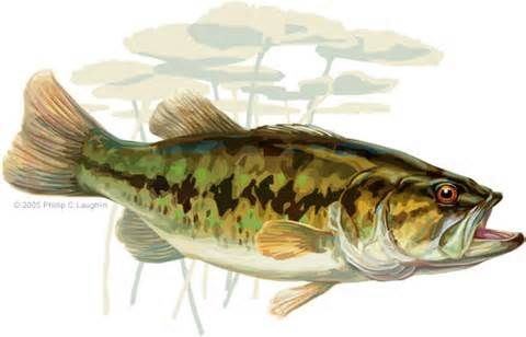 184 best images about fishing on pinterest watercolor for Buy bass fish for pond