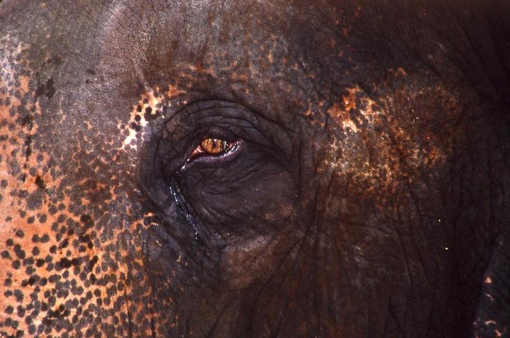 Prachtige close-up van een Aziatische olifant.