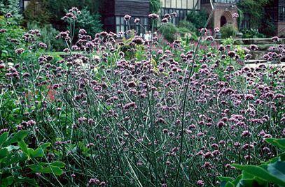 Argentinian vervain (Verbena bonariensis) Height: 2.0m Spread: 0.5m